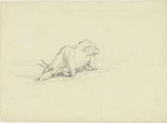 Drinkende koe, tot de knieën in het water staand